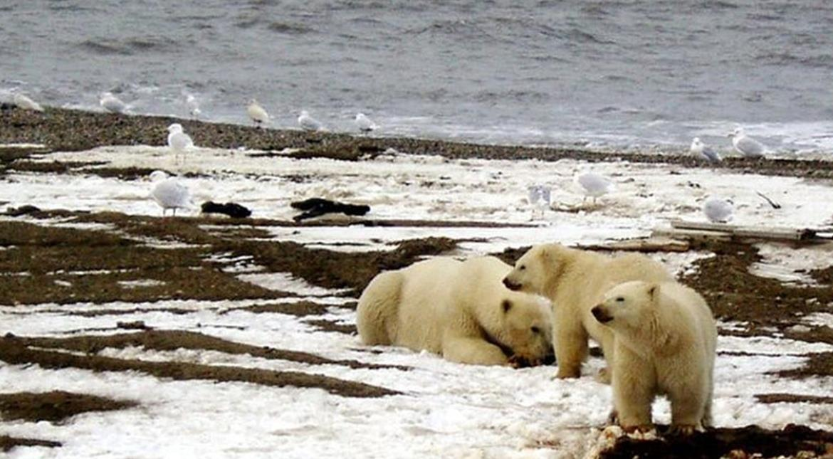 Polar bear numbers to plunge a third as Arctic sea ice melts