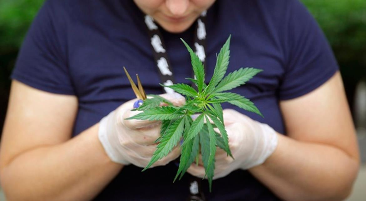 Teens using more marijuana after its legalisation, finds study